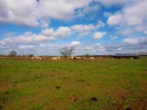 So sieht es normalerweise aus. Keine Angst, die Kühe sind aktuell auf ihrer Sommerweide. Die Fladen sind bereits entfernt und der Boden ist geebnet und begrünt. Ein wahrhaftes Idyll an Festivalgelände.